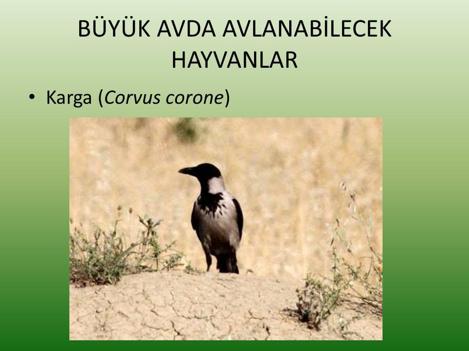BÜYÜK AVDA AVLANABİLECEK HAYVANLAR • Karga (Corvus corone)