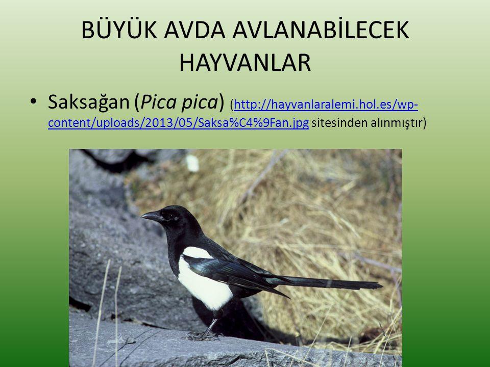 BÜYÜK AVDA AVLANABİLECEK HAYVANLAR • Saksağan (Pica pica) (http://hayvanlaralemi.hol.es/wp- content/uploads/2013/05/Saksa%C4%9Fan.jpg sitesinden alınm