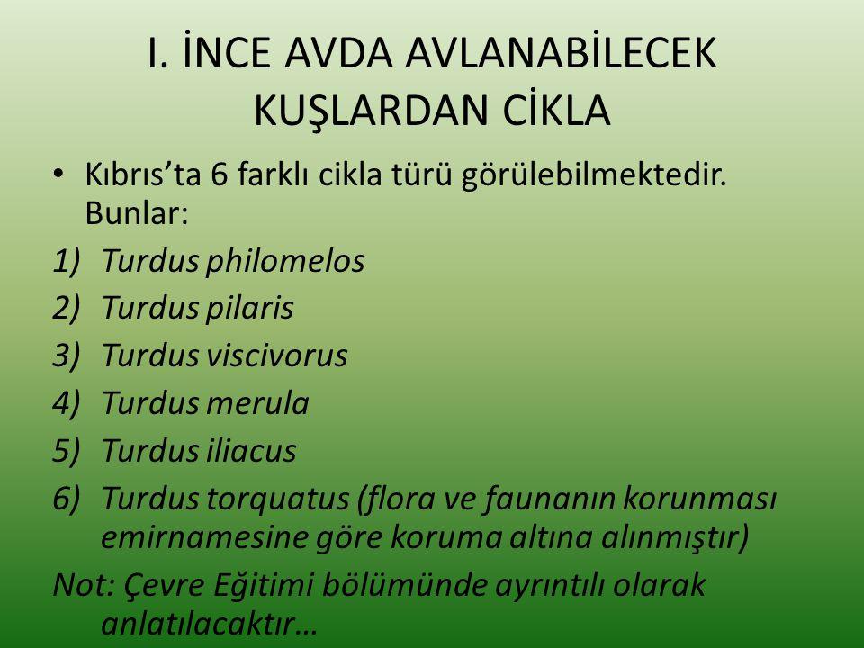 I. İNCE AVDA AVLANABİLECEK KUŞLARDAN CİKLA • Kıbrıs'ta 6 farklı cikla türü görülebilmektedir. Bunlar: 1)Turdus philomelos 2)Turdus pilaris 3)Turdus vi