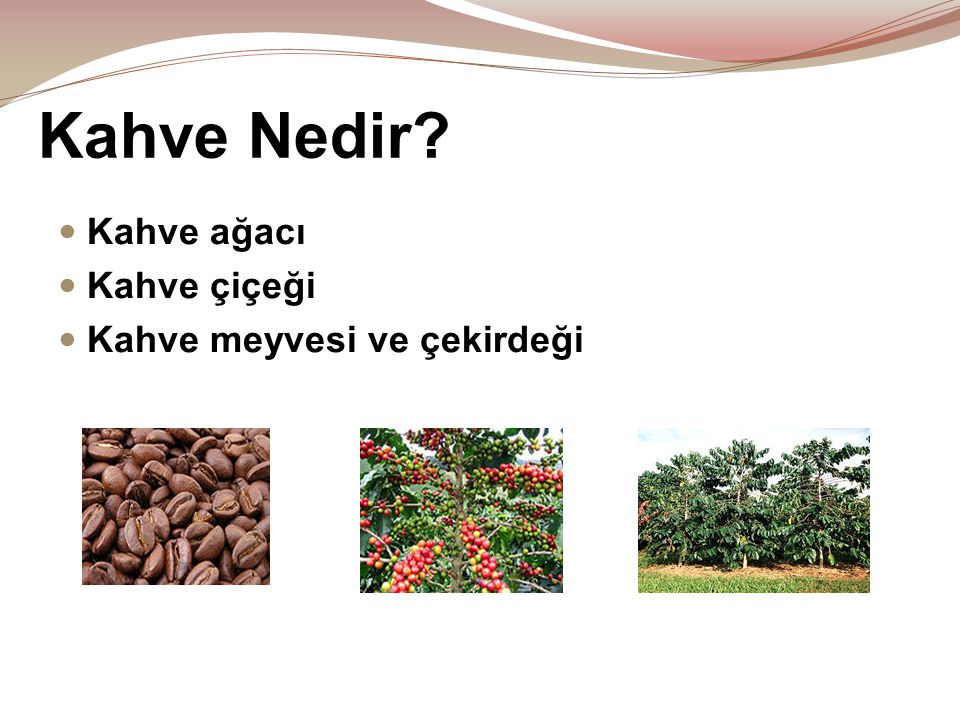 Kahve Nedir?  Kahve ağacı  Kahve çiçeği  Kahve meyvesi ve çekirdeği