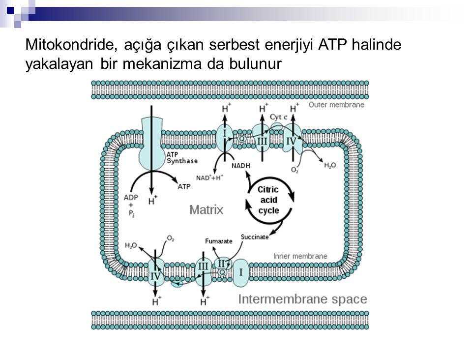 Mitokondride, açığa çıkan serbest enerjiyi ATP halinde yakalayan bir mekanizma da bulunur