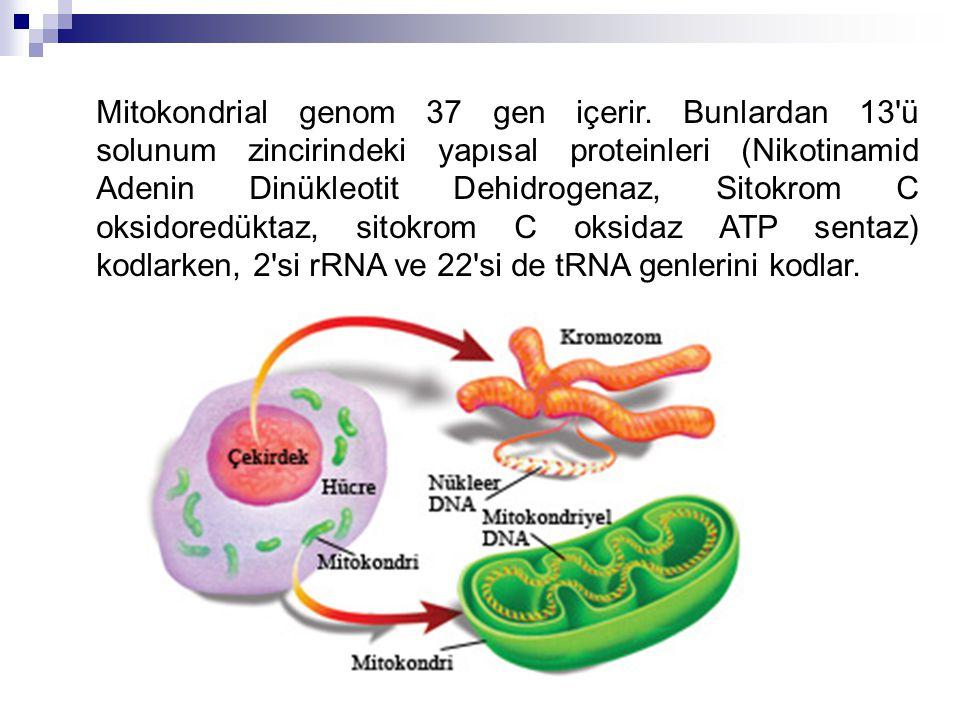 Mitokondrial genom 37 gen içerir. Bunlardan 13'ü solunum zincirindeki yapısal proteinleri (Nikotinamid Adenin Dinükleotit Dehidrogenaz, Sitokrom C oks