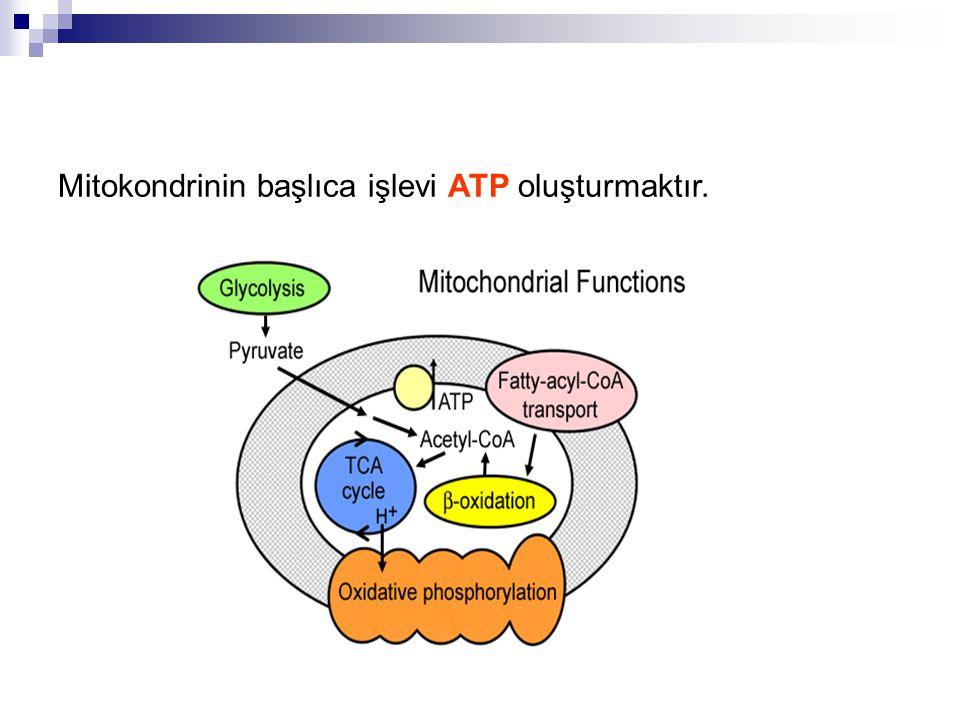 Mitokondrinin başlıca işlevi ATP oluşturmaktır.