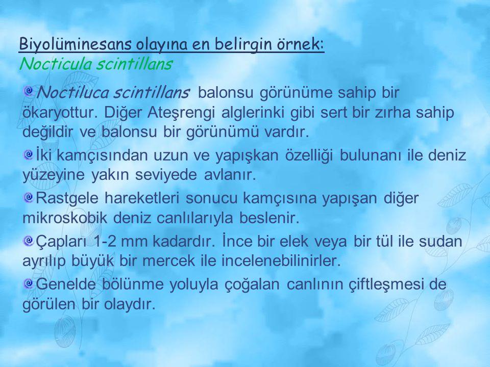 Biyolüminesans olayına en belirgin örnek: Nocticula scintillans Noctiluca scintillans balonsu görünüme sahip bir ökaryottur. Diğer Ateşrengi alglerink