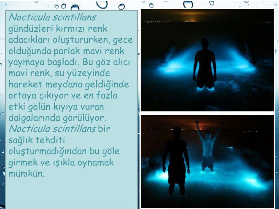Powerpoint Templates Page 15 Powerpoint Templates Nocticula scintillans gündüzleri kırmızı renk adacıkları oluştururken, gece olduğunda parlak mavi re