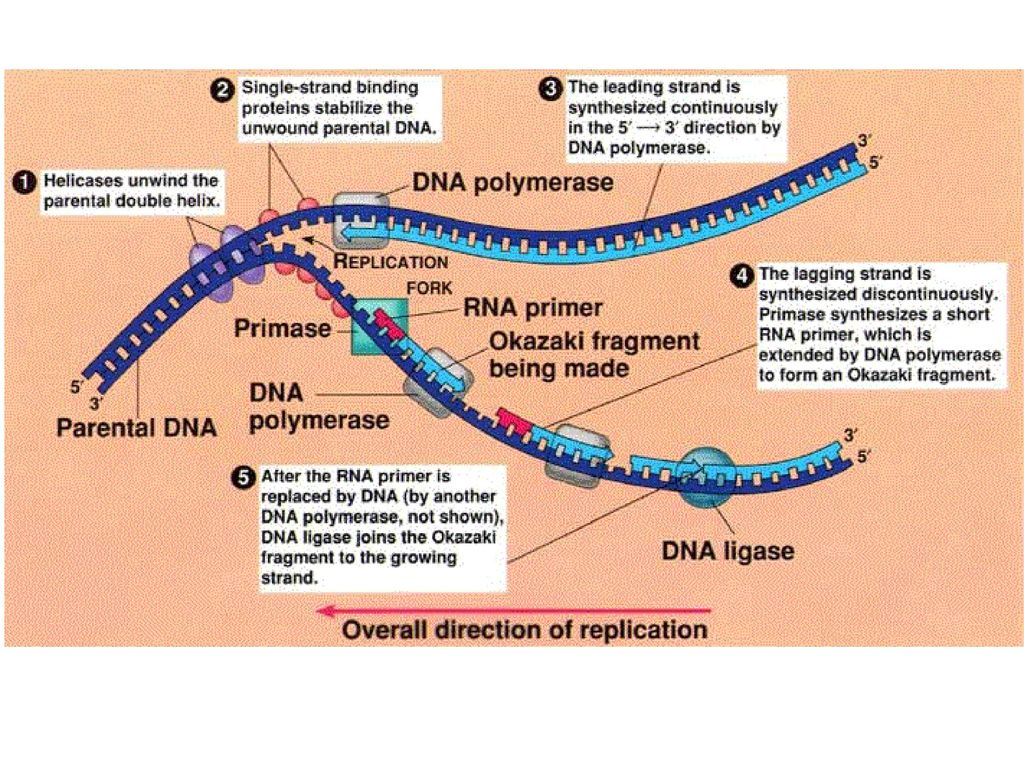 dna replication and biotechnology
