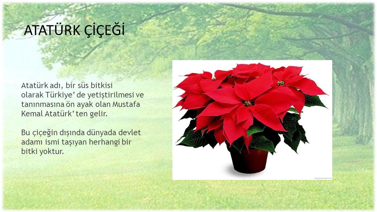 ATATÜRK ÇİÇEĞİ Atatürk adı, bir süs bitkisi olarak Türkiye' de yetiştirilmesi ve tanınmasına ön ayak olan Mustafa Kemal Atatürk' ten gelir. Bu çiçeğin