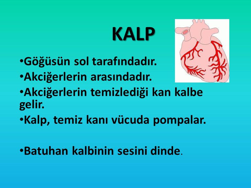KALP Göğüsün sol tarafındadır. Akciğerlerin arasındadır. Akciğerlerin temizlediği kan kalbe gelir. Kalp, temiz kanı vücuda pompalar. Batuhan kalbinin