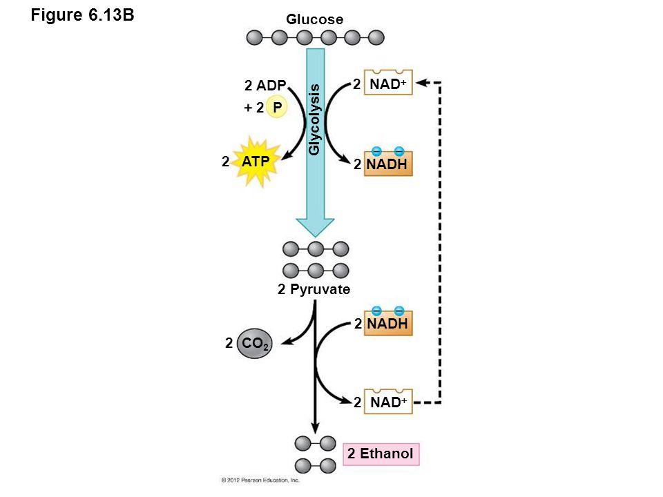 Figure 6.13B 2 NAD  2 NADH 2 NAD  2 NADH 2 Ethanol 2 Pyruvate Glucose 2 ADP 2 ATP 2 P Glycolysis 2 CO 2