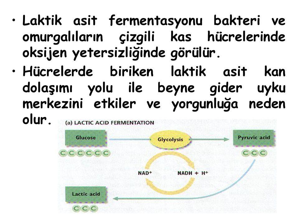 Laktik asit fermentasyonu bakteri ve omurgalıların çizgili kas hücrelerinde oksijen yetersizliğinde görülür.