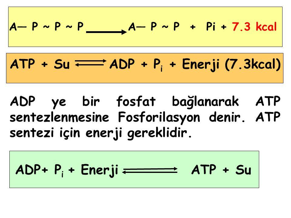 ATP + Su ADP + P i + Enerji (7.3kcal) ADP ye bir fosfat bağlanarak ATP sentezlenmesine Fosforilasyon denir.