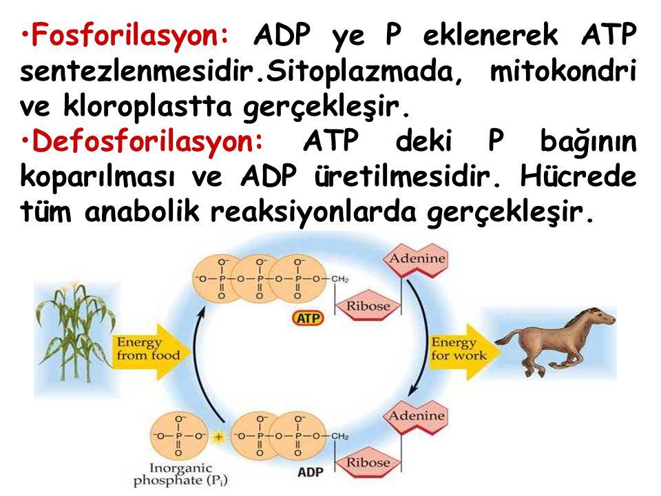 Fosforilasyon: ADP ye P eklenerek ATP sentezlenmesidir.Sitoplazmada, mitokondri ve kloroplastta gerçekleşir.