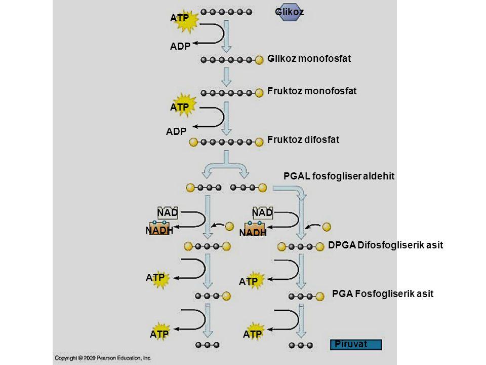 Glikoz Glikoz monofosfat Fruktoz monofosfat Fruktoz difosfat PGAL fosfogliser aldehit DPGA Difosfogliserik asit PGA Fosfogliserik asit Piruvat ATP ADP NADH NAD