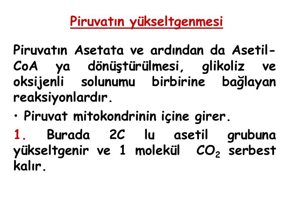 Piruvatın yükseltgenmesi Piruvatın Asetata ve ardından da Asetil- CoA ya dönüştürülmesi, glikoliz ve oksijenli solunumu birbirine bağlayan reaksiyonlardır.