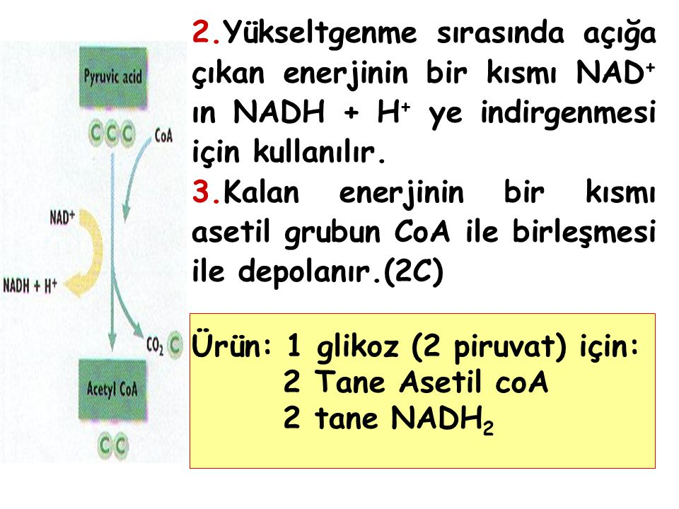 2.Yükseltgenme sırasında açığa çıkan enerjinin bir kısmı NAD + ın NADH + H + ye indirgenmesi için kullanılır.