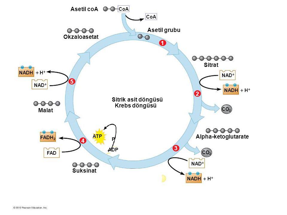 NADH NAD  NADH HH HH HH CO 2 ATP ADP P FAD FADH 2 CoA 34512 Asetil coA Okzaloasetat Sitrik asit döngüsü Krebs döngüsü Asetil grubu Sitrat Alpha-ketoglutarate Suksinat Malat