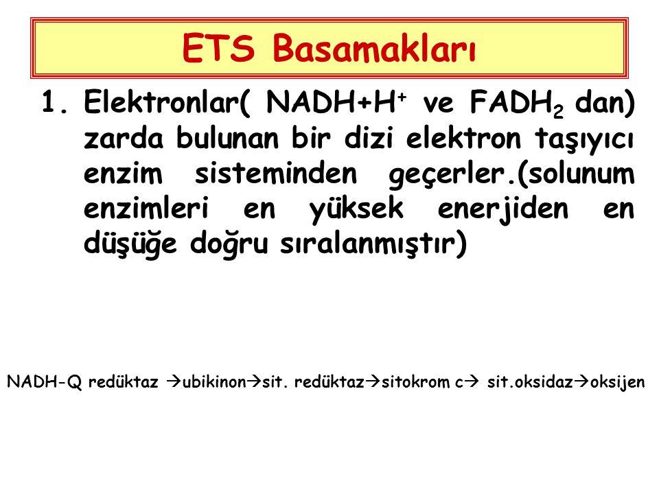 ETS Basamakları 1.Elektronlar( NADH+H + ve FADH 2 dan) zarda bulunan bir dizi elektron taşıyıcı enzim sisteminden geçerler.(solunum enzimleri en yüksek enerjiden en düşüğe doğru sıralanmıştır) NADH-Q redüktaz  ubikinon  sit.