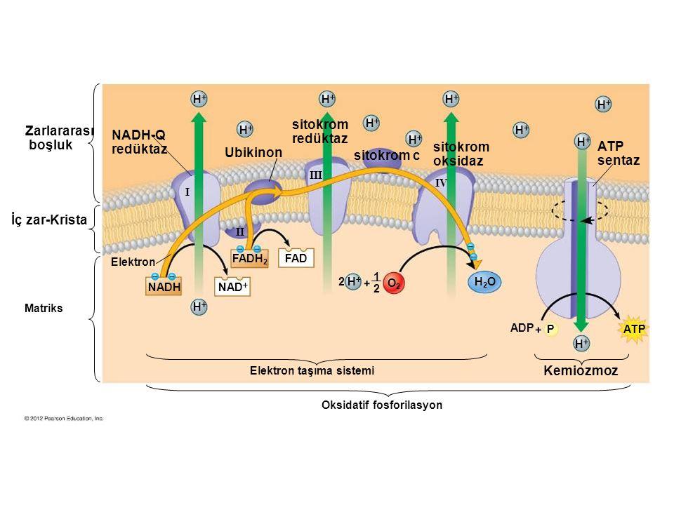 Oksidatif fosforilasyon Elektron taşıma sistemi Kemiozmoz Matriks İç zar-Krista Zarlararası boşluk Elektron NADH-Q redüktaz Ubikinon ATP sentaz NADH NAD  2 H  FADH 2 FAD O2O2 H2OH2O ADP PATP 1 2 HH HH HH HH HH HH HH HH HH HH HH I II III IV sitokrom redüktaz sitokrom c sitokrom oksidaz