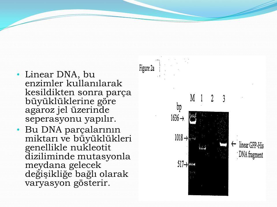 Linear DNA, bu enzimler kullanılarak kesildikten sonra parça büyüklüklerine göre agaroz jel üzerinde seperasyonu yapılır. Bu DNA parçalarının miktarı