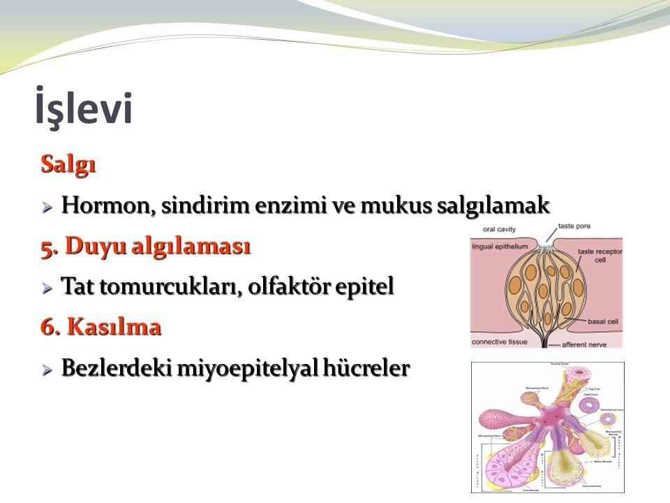 İşlevi Salgı  Hormon, sindirim enzimi ve mukus salgılamak 5. Duyu algılaması  Tat tomurcukları, olfaktör epitel 6. Kasılma  Bezlerdeki miyoepitelya