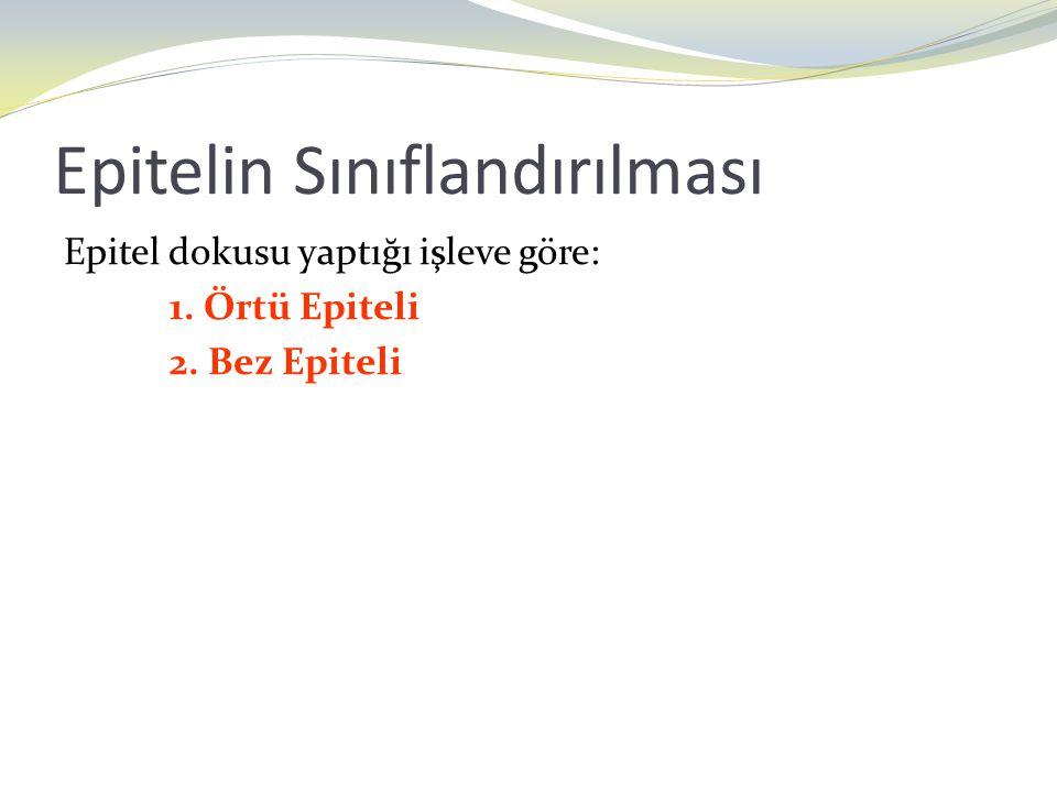 Epitelin Sınıflandırılması Epitel dokusu yaptığı işleve göre: 1. Örtü Epiteli 2. Bez Epiteli