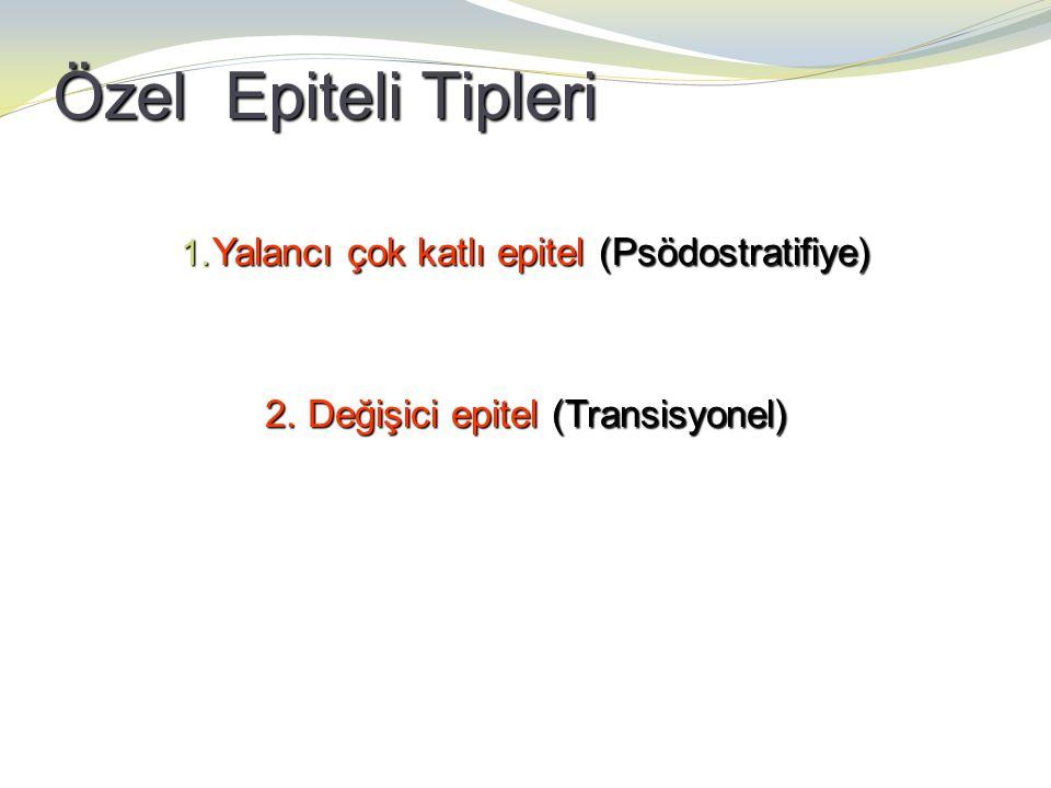 Özel Epiteli Tipleri 1. Yalancı çok katlı epitel (Psödostratifiye) 2. Değişici epitel (Transisyonel)