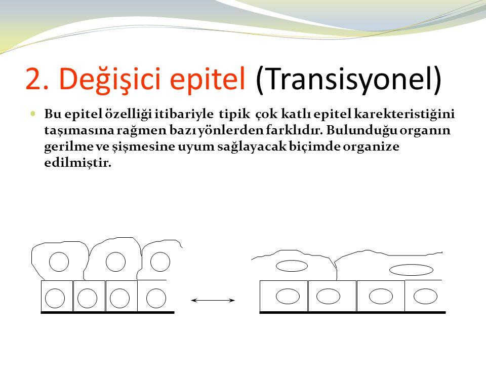 2. Değişici epitel (Transisyonel) Bu epitel özelliği itibariyle tipik çok katlı epitel karekteristiğini taşımasına rağmen bazı yönlerden farklıdır. Bu