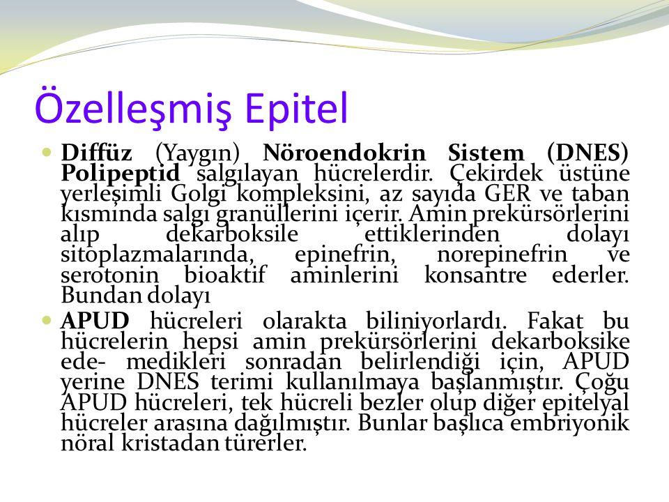 Özelleşmiş Epitel Diffüz (Yaygın) Nöroendokrin Sistem (DNES) Polipeptid salgılayan hücrelerdir. Çekirdek üstüne yerleşimli Golgi kompleksini, az sayıd