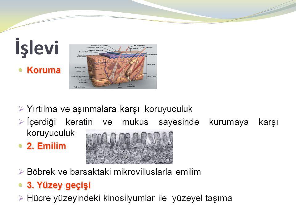 Değişici epitel  Derin hücreler; birbiri üzerine binmiş durumda bazal membran üzerinde hücre katları yaparlar.