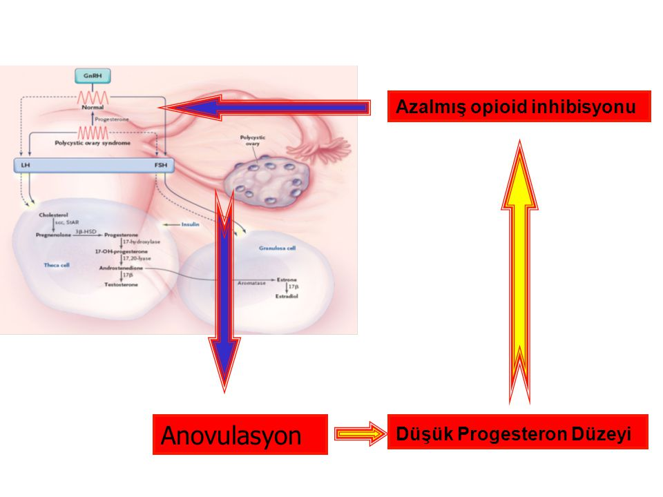 Anovulasyon Düşük Progesteron Düzeyi Azalmış opioid inhibisyonu