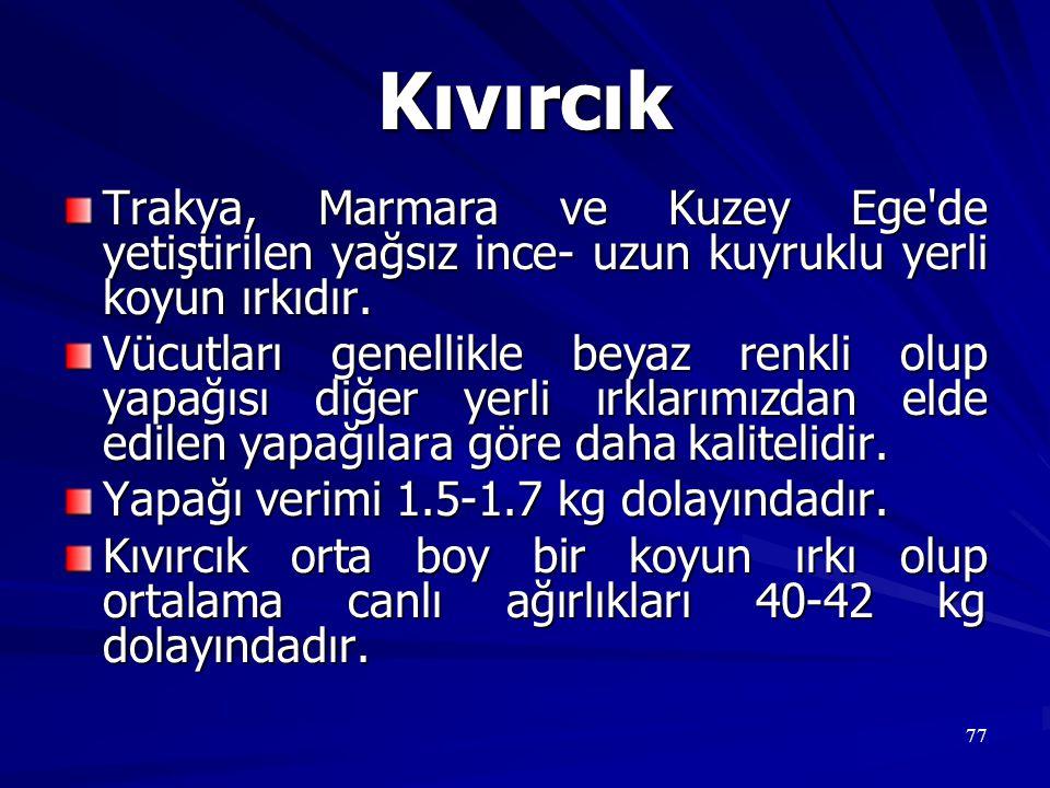 77 Kıvırcık Trakya, Marmara ve Kuzey Ege'de yetiştirilen yağsız ince- uzun kuyruklu yerli koyun ırkıdır. Vücutları genellikle beyaz renkli olup yapağı
