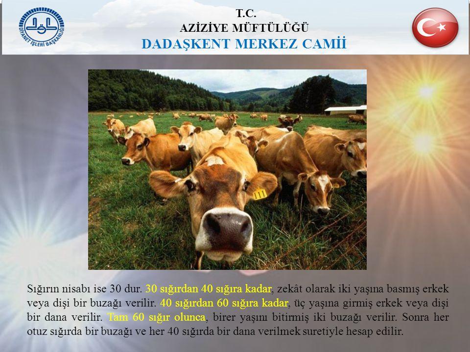 T.C. AZİZİYE MÜFTÜLÜĞÜ DADAŞKENT MERKEZ CAMİİ Sığırın nisabı ise 30 dur. 30 sığırdan 40 sığıra kadar, zekât olarak iki yaşına basmış erkek veya dişi b