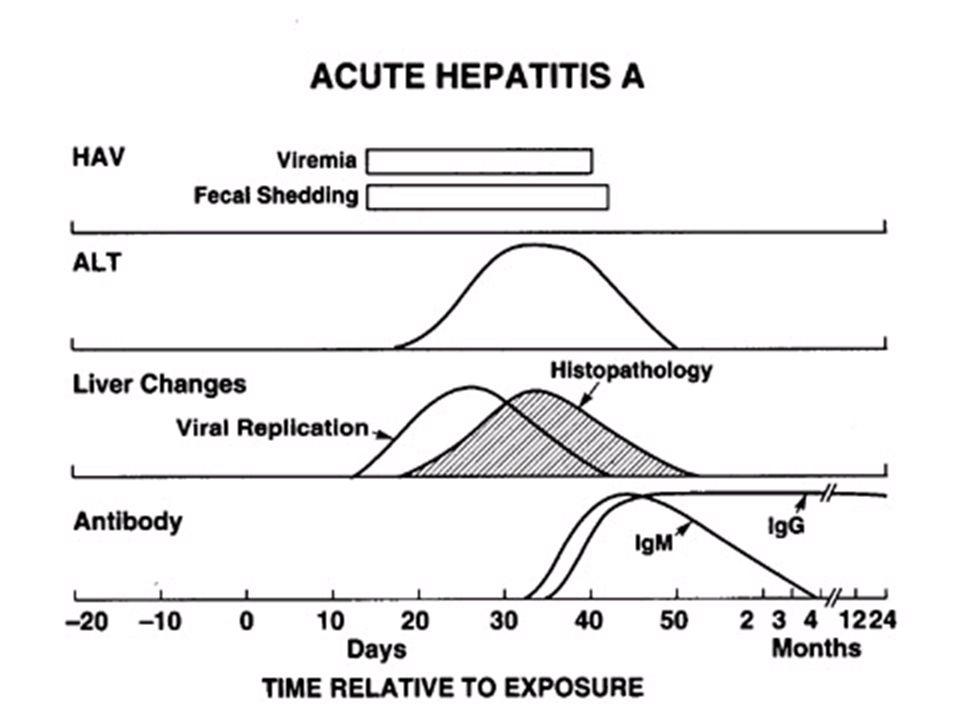 AKUT HBV İNFEKSİYONUNUN KRONİKLEŞMESİ HBsAg HBV-DNA HBeAg (PCR) Semptomlar Anti HBc Anti HBe 1234 5 6 1 2 3 4 5 6 7 8 9 10 AYLARYILLAR Temas sonrası süre