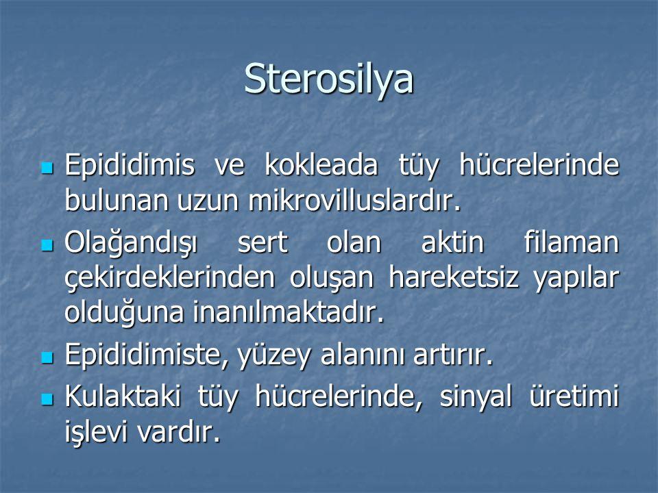 Sterosilya  Epididimis ve kokleada tüy hücrelerinde bulunan uzun mikrovilluslardır.  Olağandışı sert olan aktin filaman çekirdeklerinden oluşan hare
