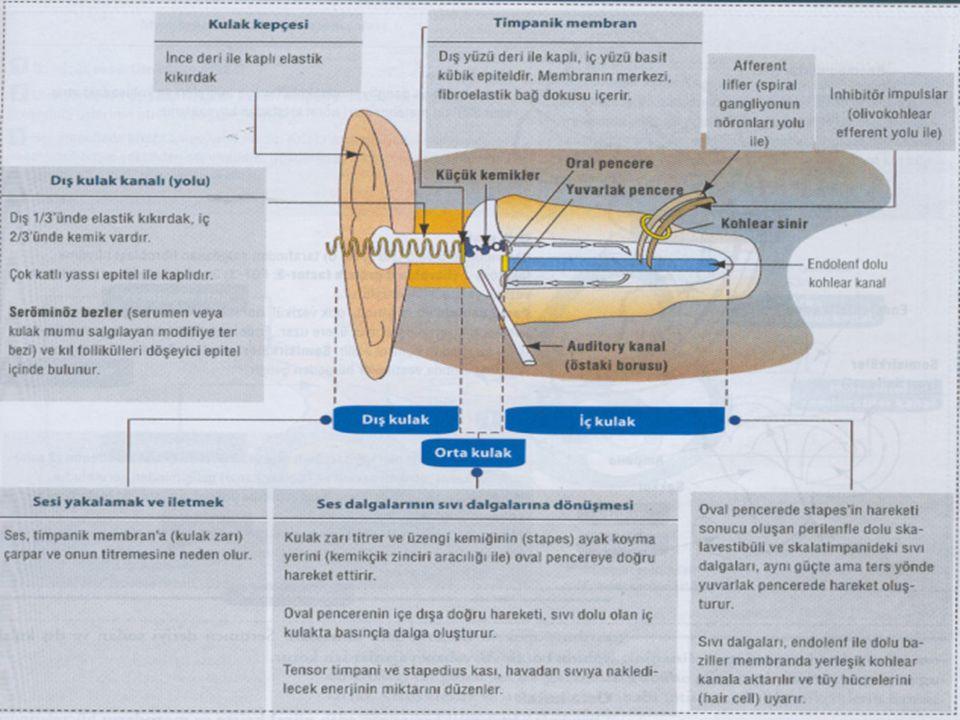 Koklear Kanallar  Sakküle ait bir divertikül olan bu yapı, bir ses reseptörü olarak özelleşmiştir.