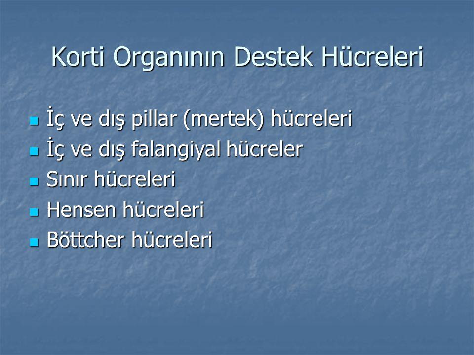 Korti Organının Destek Hücreleri  İç ve dış pillar (mertek) hücreleri  İç ve dış falangiyal hücreler  Sınır hücreleri  Hensen hücreleri  Böttcher