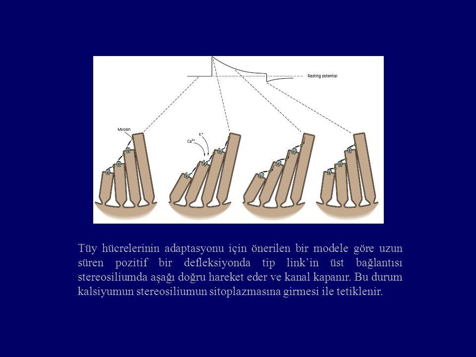 Tüy hücrelerinin adaptasyonu için önerilen bir modele göre uzun süren pozitif bir defleksiyonda tip link'in üst bağlantısı stereosiliumda aşağı doğru hareket eder ve kanal kapanır.
