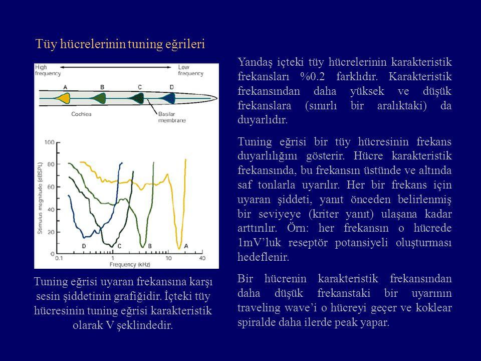 Yandaş içteki tüy hücrelerinin karakteristik frekansları %0.2 farklıdır. Karakteristik frekansından daha yüksek ve düşük frekanslara (sınırlı bir aral