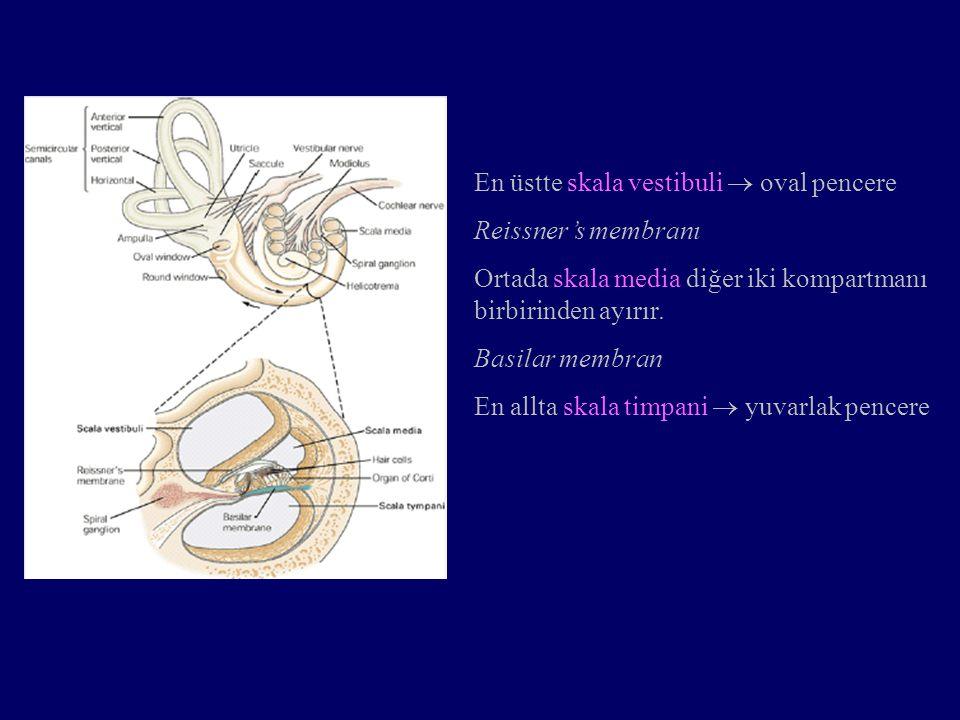 Duyusal-sinirsel işitme kaybı Sağırlık primer olarak koklear tüy hücrelerinin kaybı ile oluşur.