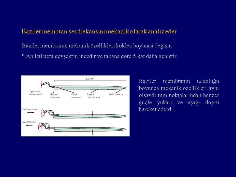 Baziler membranın mekanik özellikleri koklea boyunca değişir. * Apikal uçta gevşektir, incedir ve tabana göre 5 kat daha geniştir. Baziler membranın u