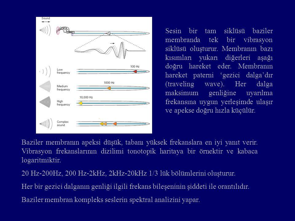 Sesin bir tam siklüsü baziler membranda tek bir vibrasyon siklüsü oluşturur.