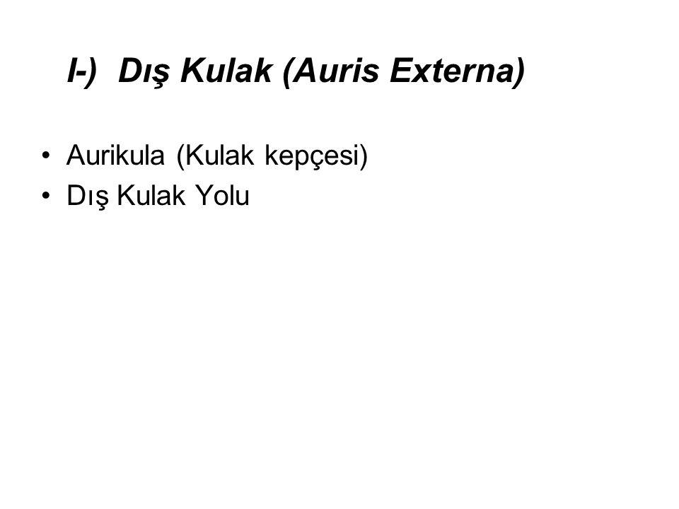 I-) Dış Kulak (Auris Externa) •Aurikula (Kulak kepçesi) •Dış Kulak Yolu