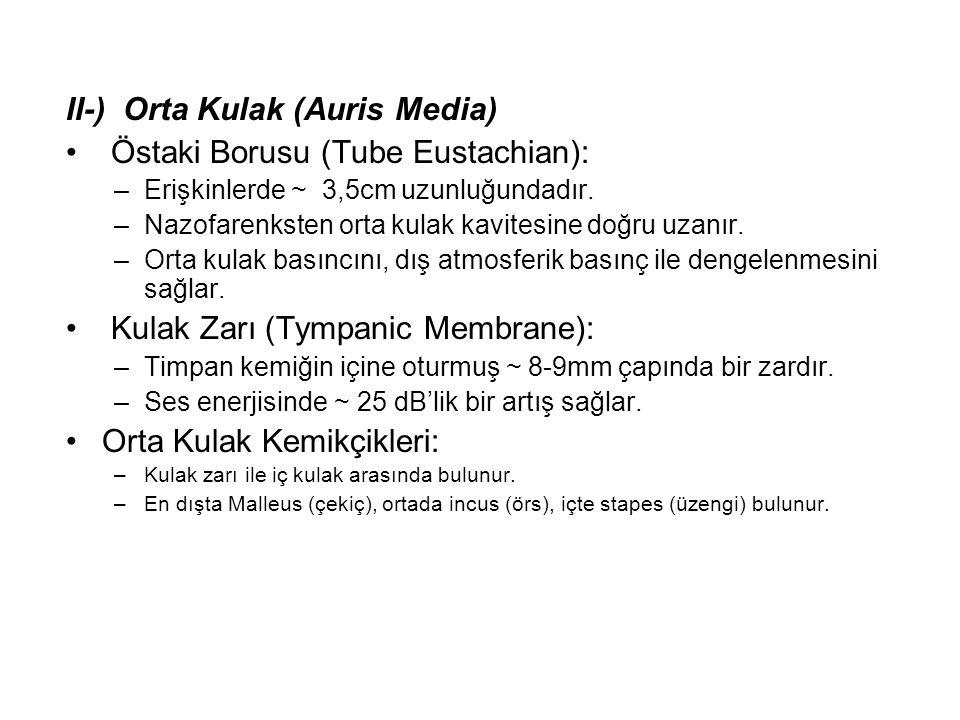 II-) Orta Kulak (Auris Media) • Östaki Borusu (Tube Eustachian): –Erişkinlerde ~ 3,5cm uzunluğundadır. –Nazofarenksten orta kulak kavitesine doğru uza