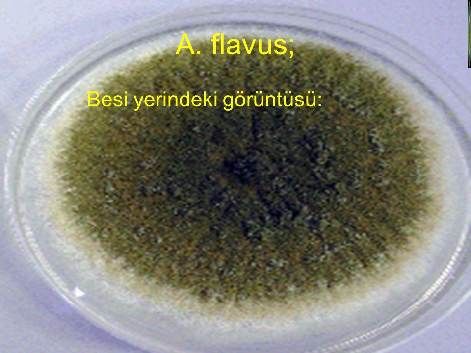 A. flavus; Besi yerindeki görüntüsü: