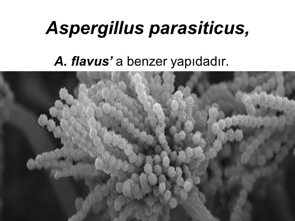 Aspergillus parasiticus, A. flavus' a benzer yapıdadır.