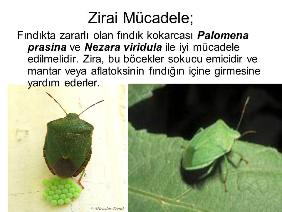 Zirai Mücadele; Fındıkta zararlı olan fındık kokarcası Palomena prasina ve Nezara viridula ile iyi mücadele edilmelidir. Zira, bu böcekler sokucu emic