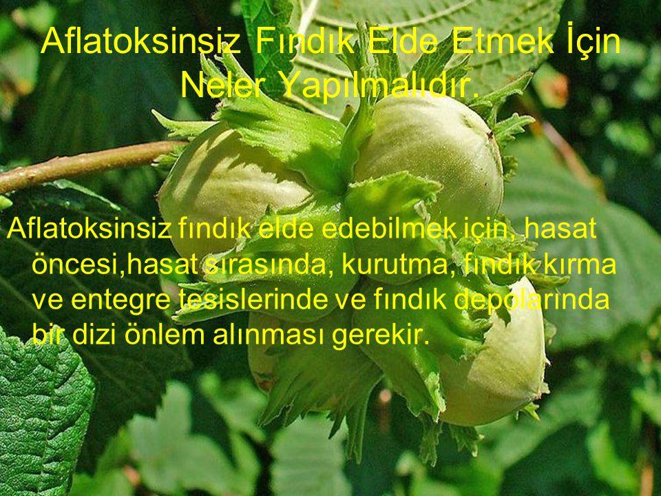 Aflatoksinsiz Fındık Elde Etmek İçin Neler Yapılmalıdır. Aflatoksinsiz fındık elde edebilmek için, hasat öncesi,hasat sırasında, kurutma, fındık kırma