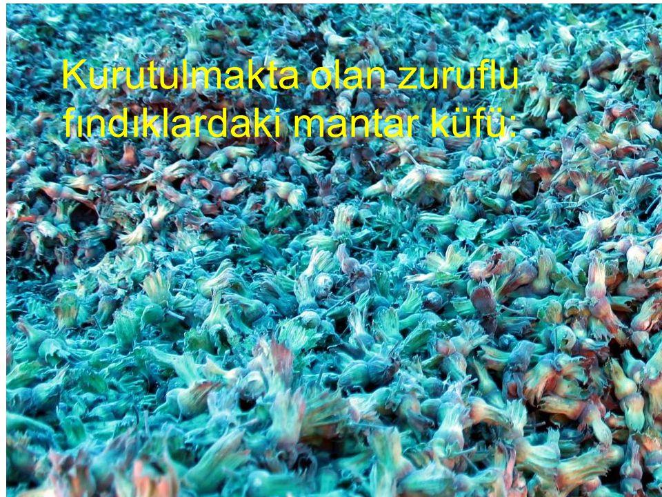 Kurutulmakta olan zuruflu fındıklardaki mantar küfü: