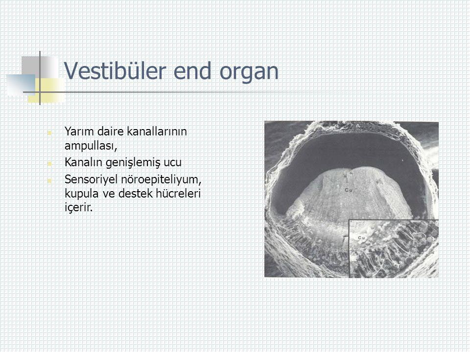 Vestibüler end organ  Yarım daire kanallarının ampullası,  Kanalın genişlemiş ucu  Sensoriyel nöroepiteliyum, kupula ve destek hücreleri içerir.