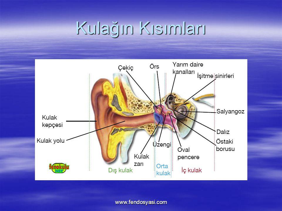 www.fendosyasi.com Kulağın Kısımları